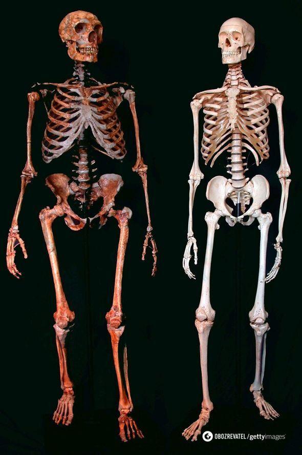 Скелет неандертальця та сучасної людини
