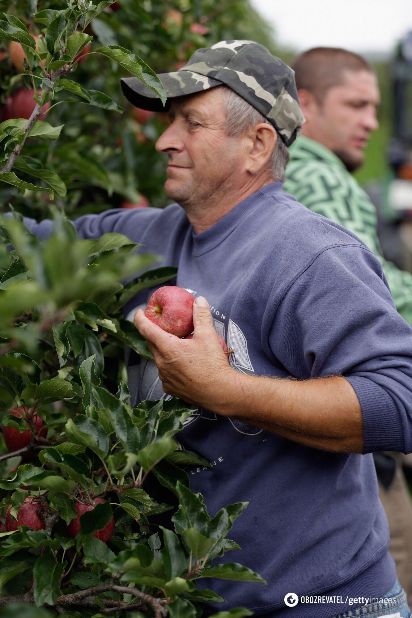 Летом в Польше некому будет собирать яблоки