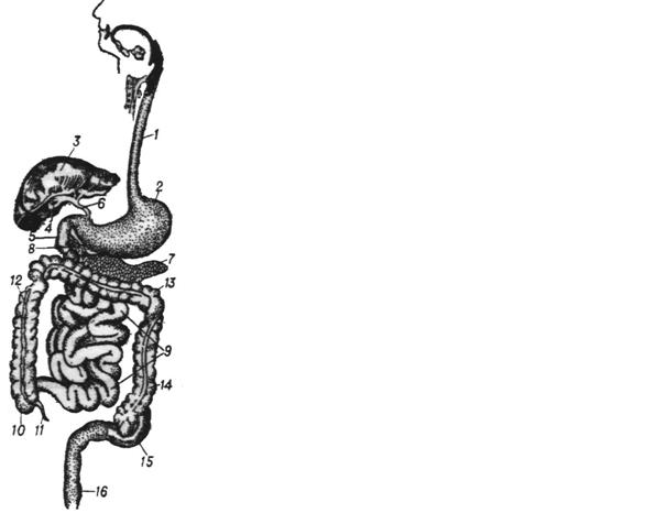 Схема будови органів травлення людини
