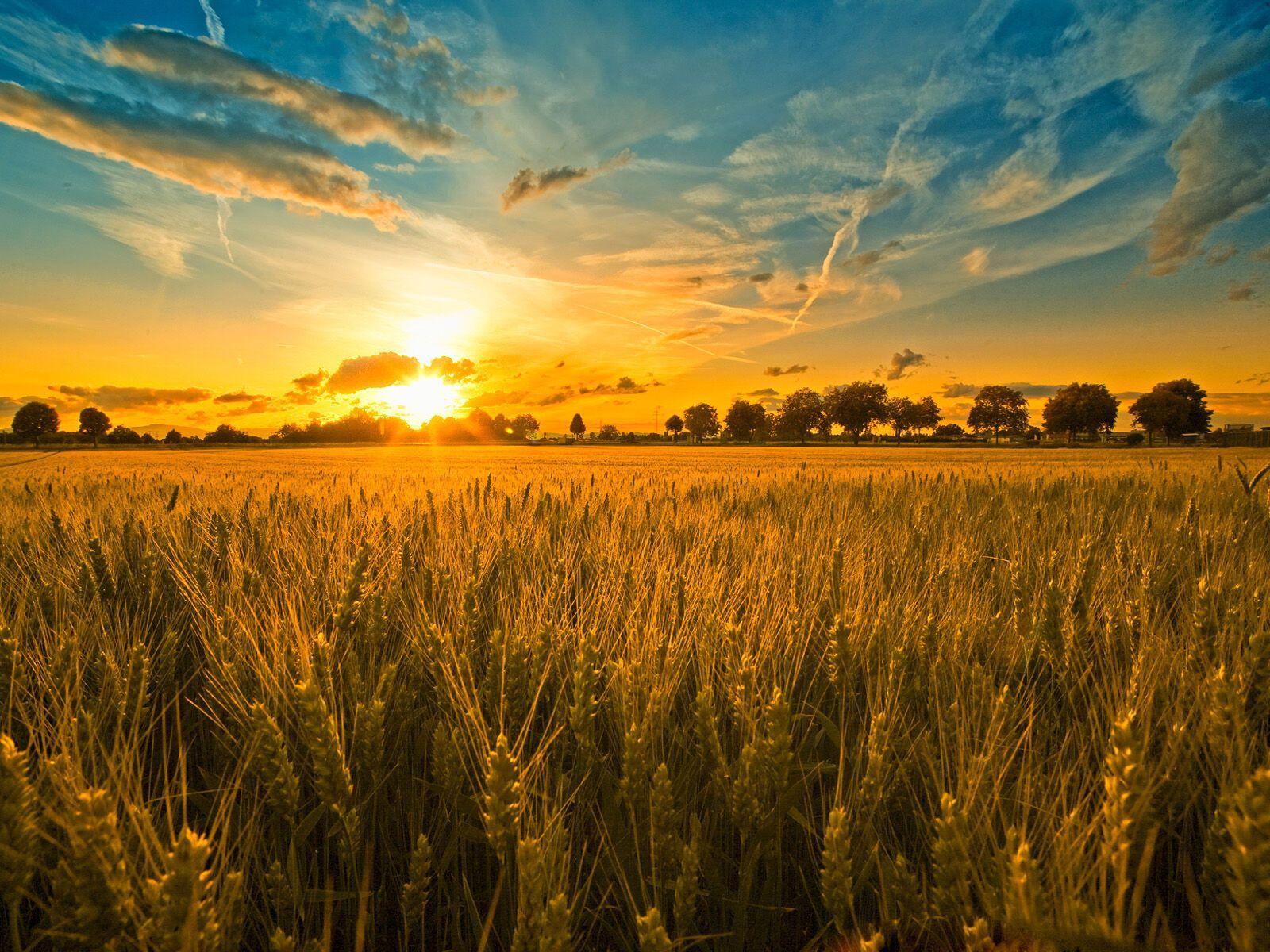 В Іванів день селяни сіяли пшеницю