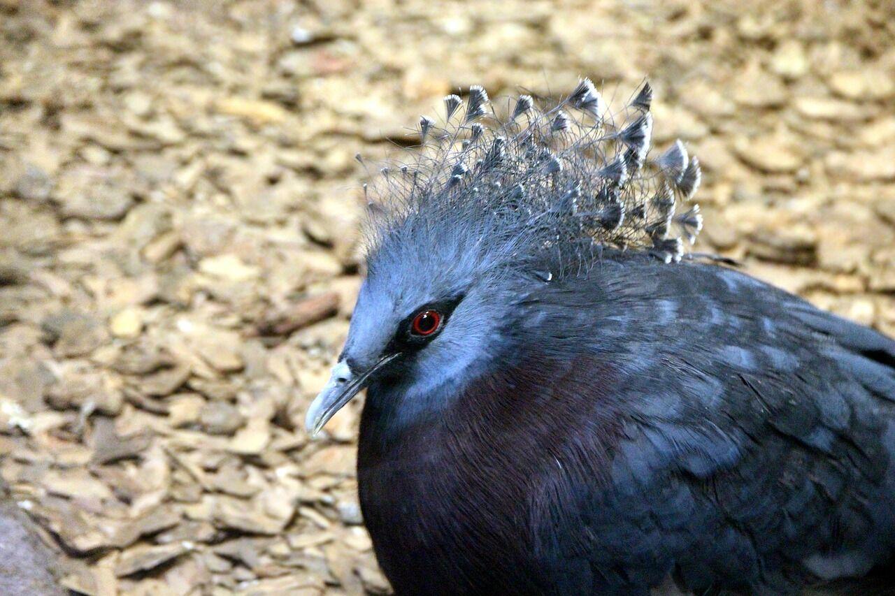 Вінценосний голуб