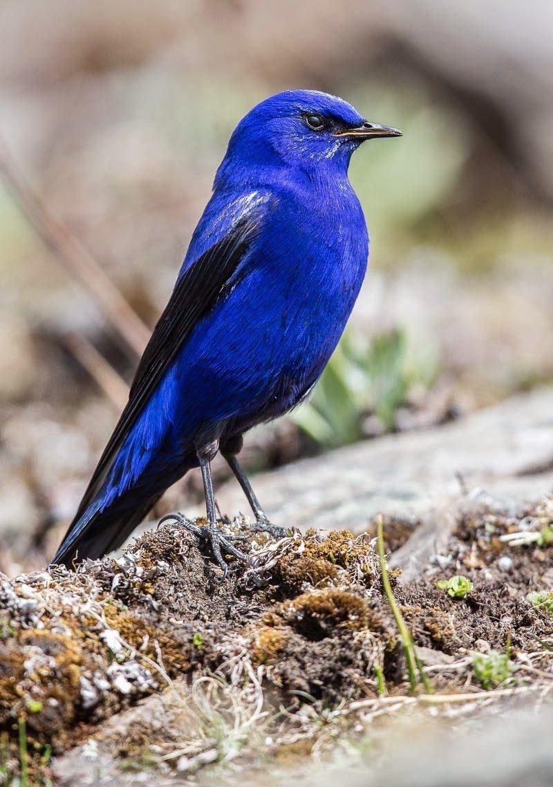 Блакитний птах