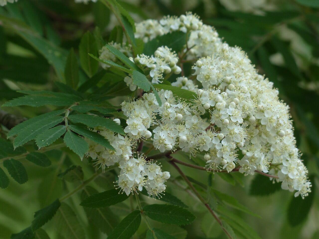 Епифанов день также известен как Рябиновка: в праздник обычно цветет рябина