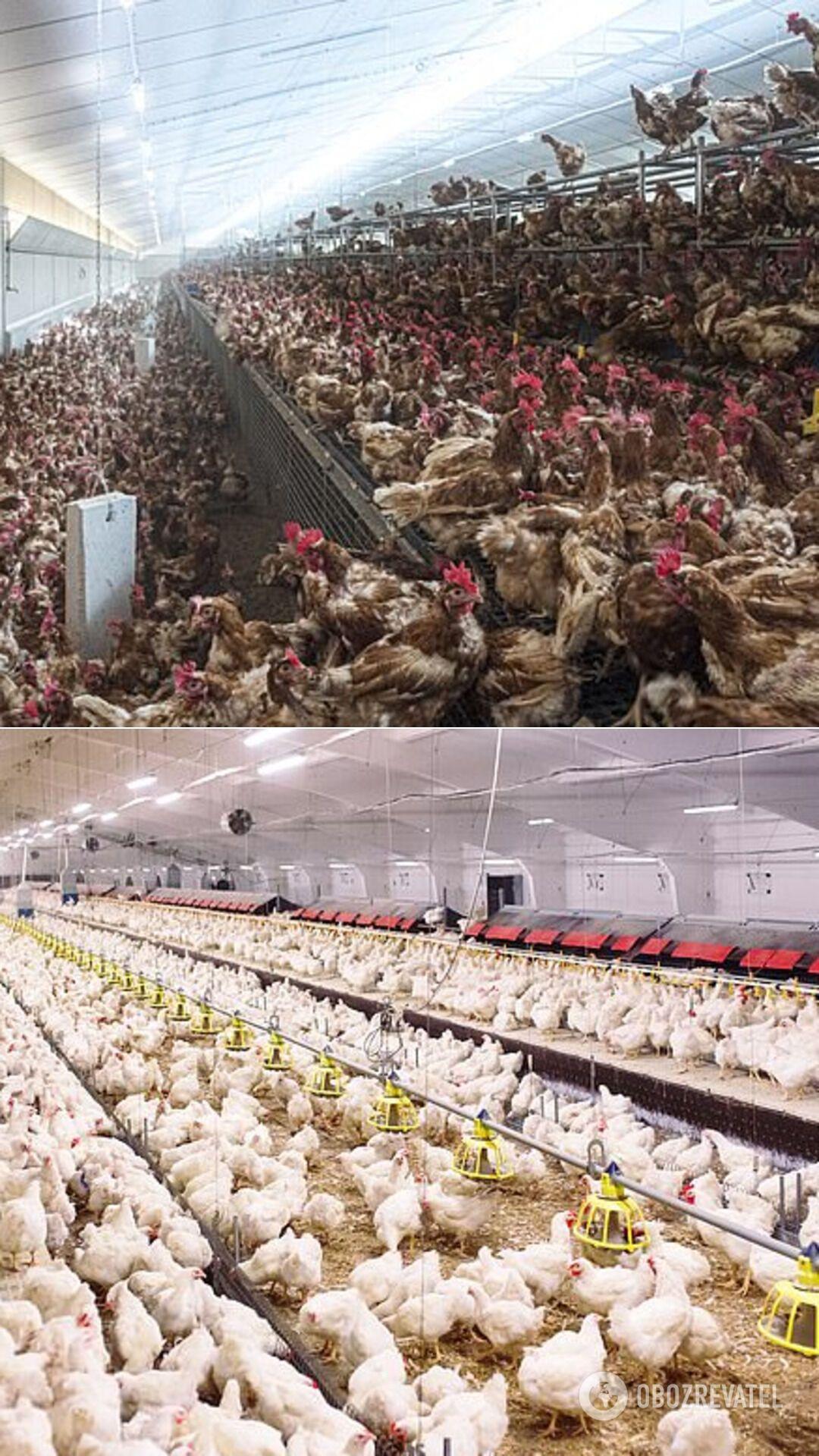 Птицефабрики могут спровоцировать возникновение пандемии, опаснее COVID-19 – Грегор
