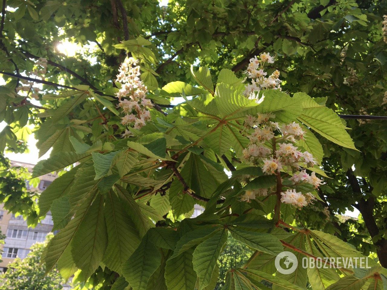 Днепр заполнен цветущими деревьями