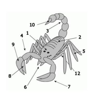 Будова скорпіона