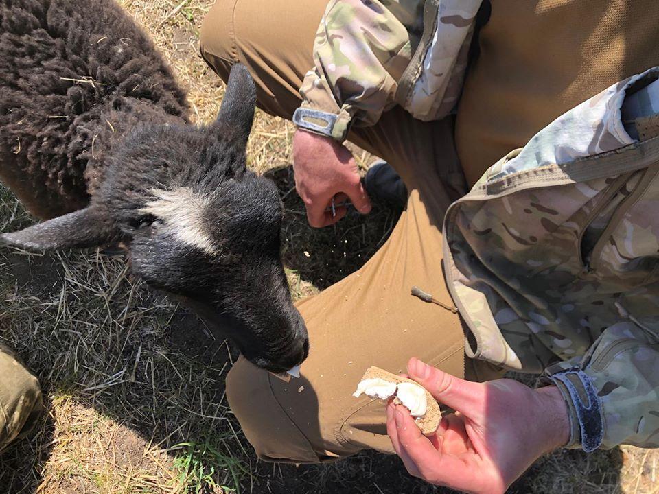 Вівця живе з воїнами на позиціях під Донецьком