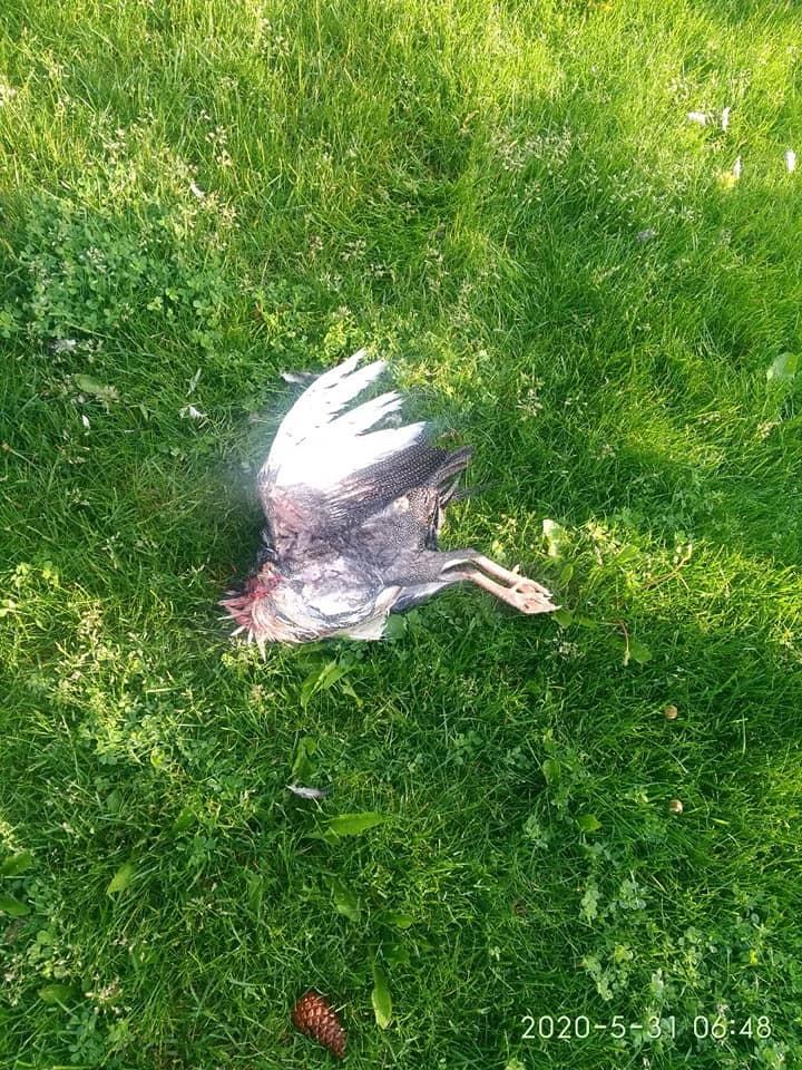 Задушенные птицы