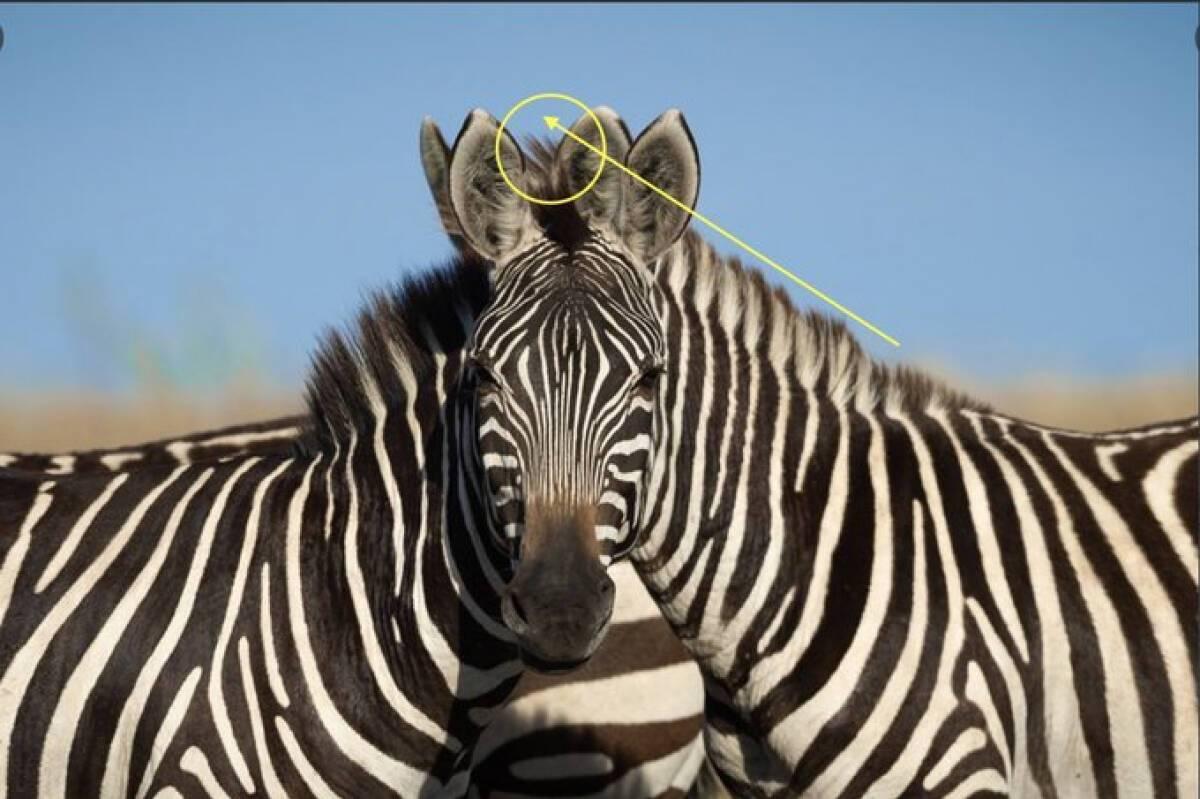 Какая зебра впереди: новая оптическая иллюзия озадачила сотни людей в сети