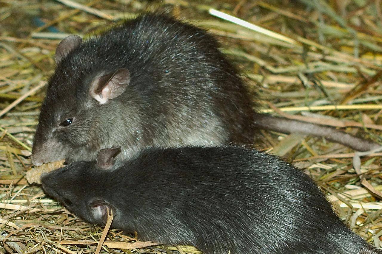 Бубонна чума передається від щурів і бабаків