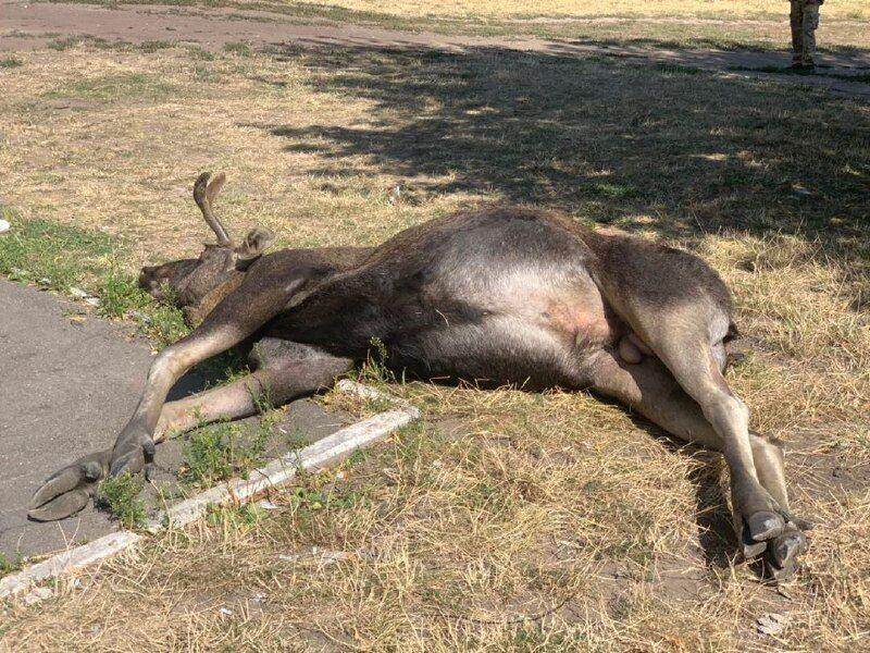 У Києві тварина загинула після зіткнення з авто