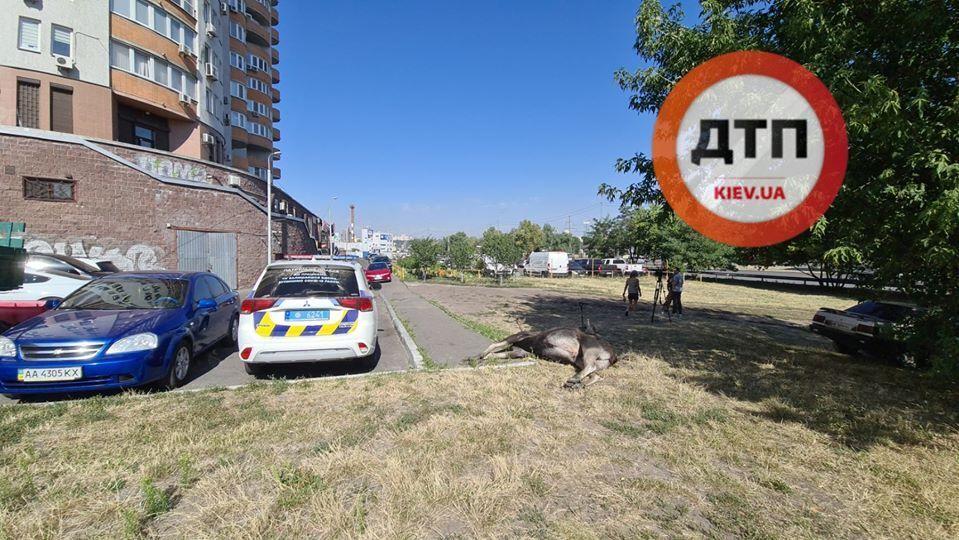 Лось втік від поліції і загинув в аварії