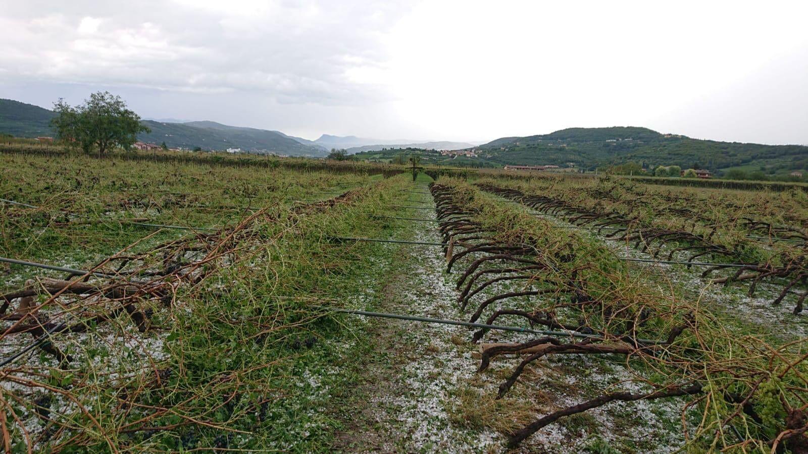 Ураган в Вероне уничтожил виноградники.