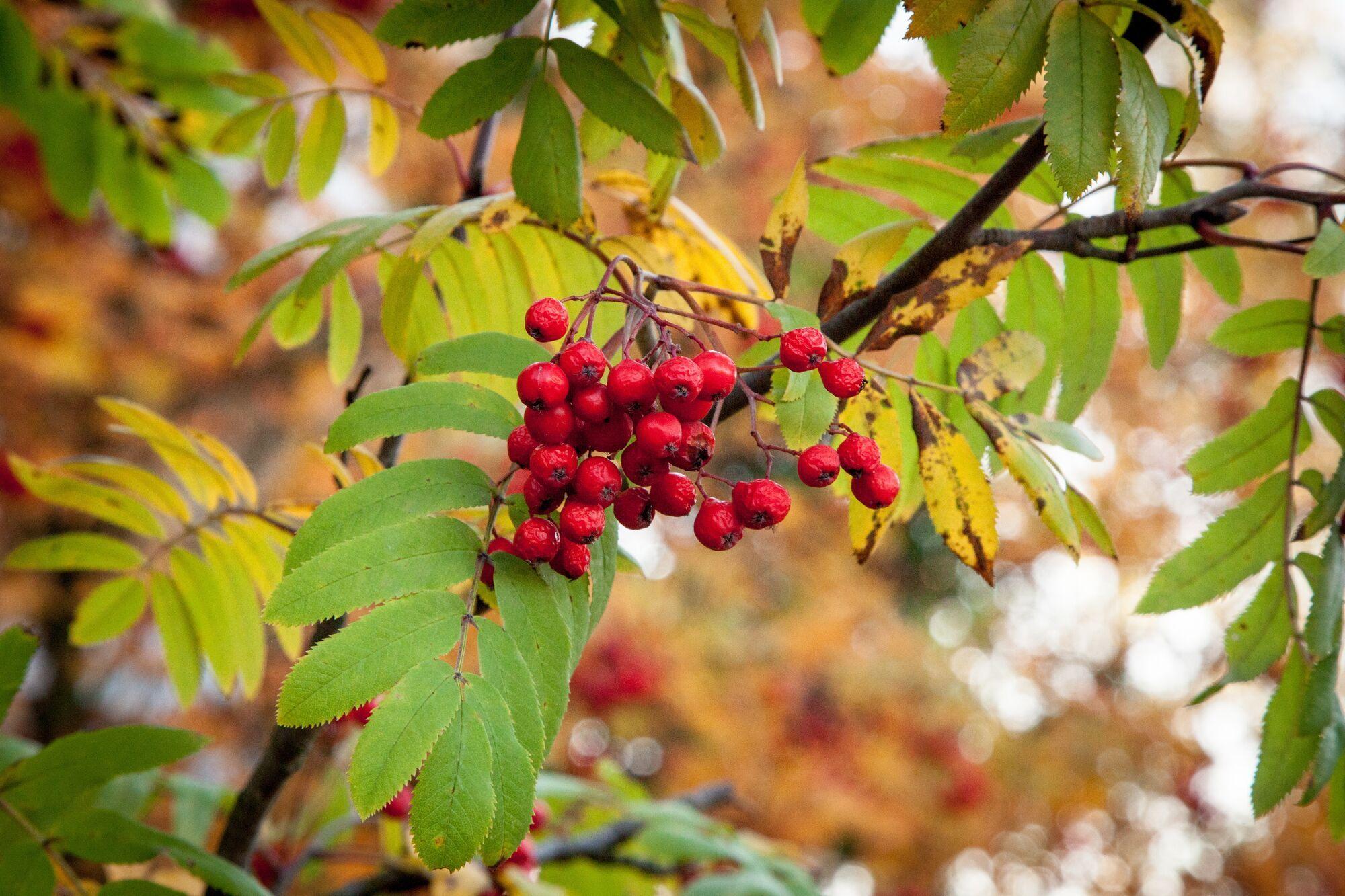День осеннего равноденствия у наших предков был еще Днем рябины