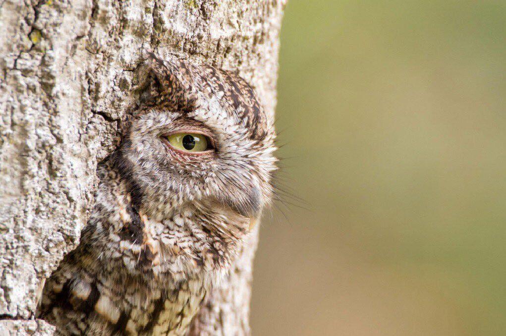 Сова, вміло замаскована під дерево, стала зіркою інтернету.