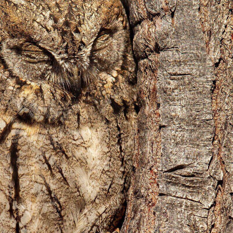 Сова зливається з корою дерева.