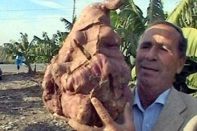 Картопля-гігант