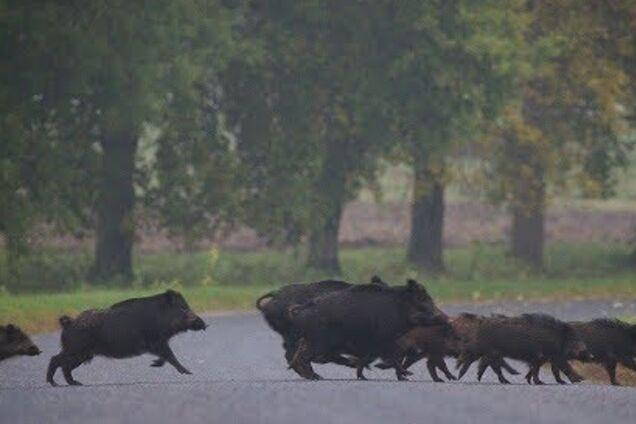 У Дніпрі на набережній гуляла зграя диких кабанів