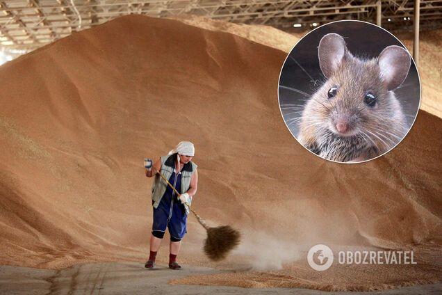 Зерно з Держрезерву нібито з'їли миші