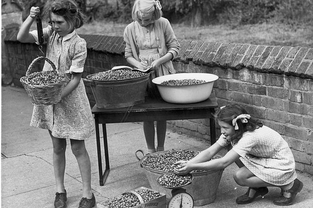 Діти під час Другої світової війни збирали шипшину в якості заміни апельсинів