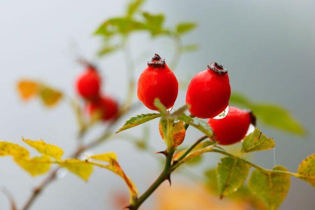 Плоди шипшини багаті вітаміном С