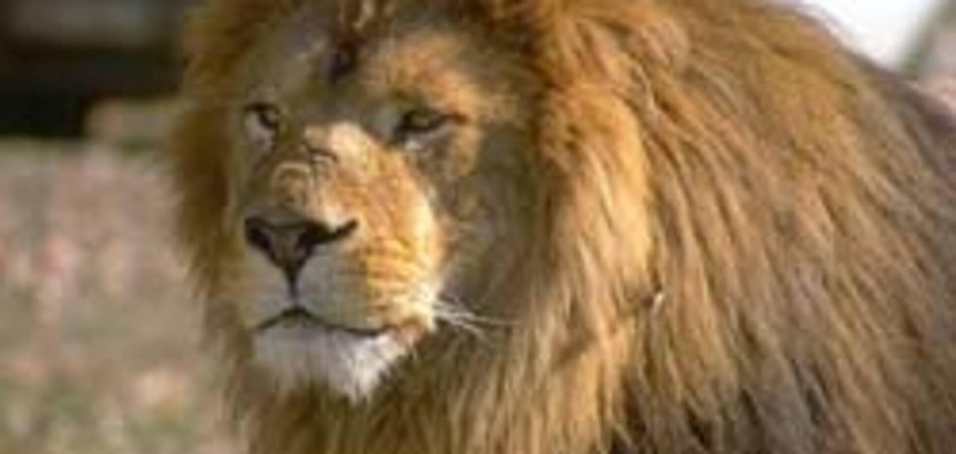 Харківському леву Кінгу привезли молоду дружину Міледі