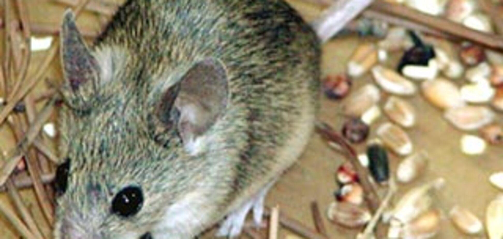Ученые нашли новый вид мыши