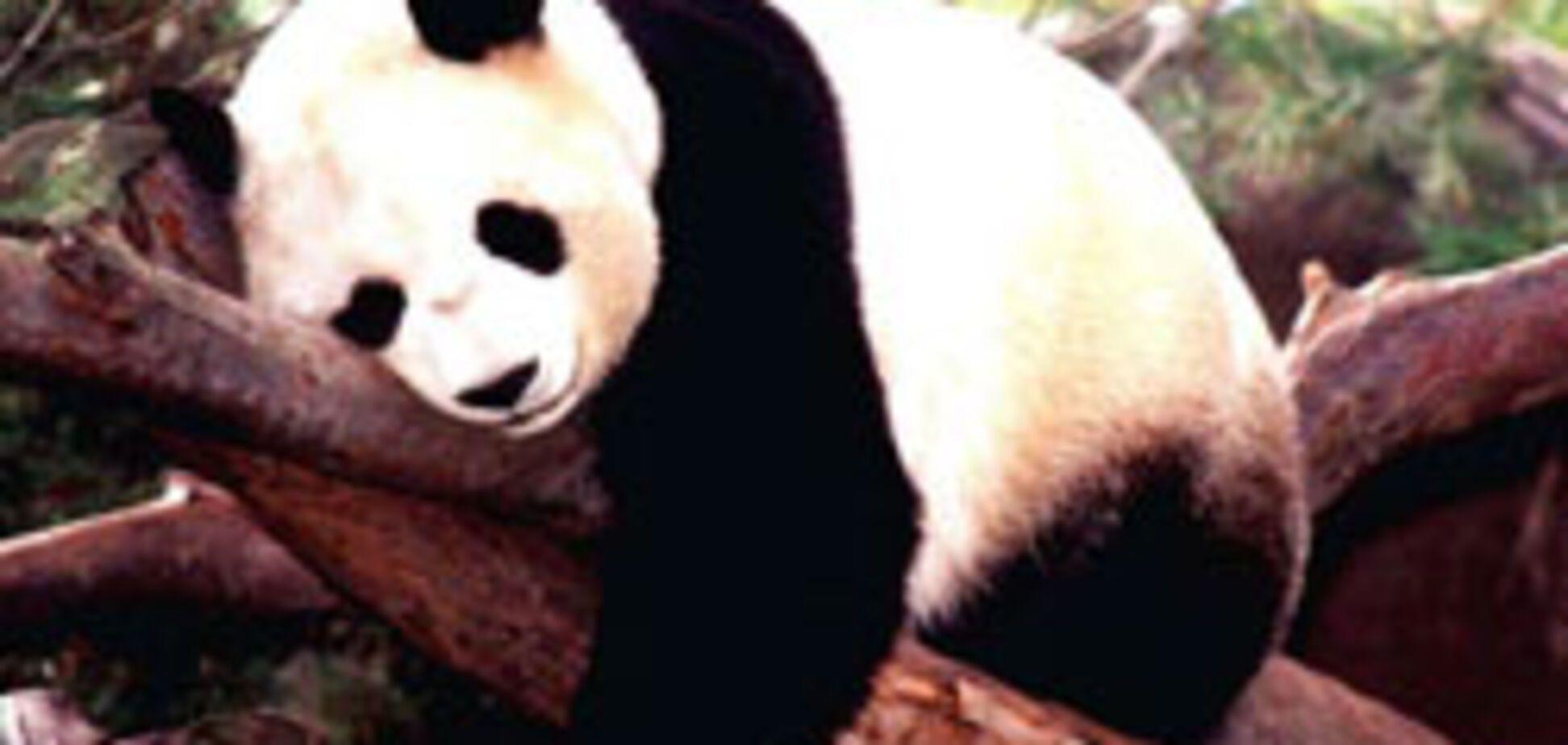 В тайском зоопарке будут показывать порно для панд