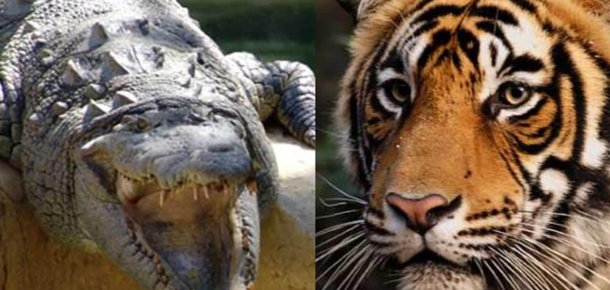 Схватка крокодила с тигром. Очень редкое событие. ФОТО