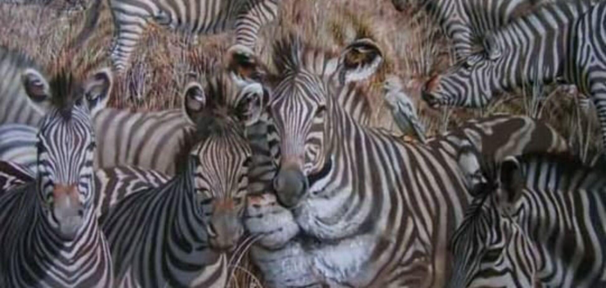 Ілюзії. Бачите лева? А його немає, на фотографії тільки зебри