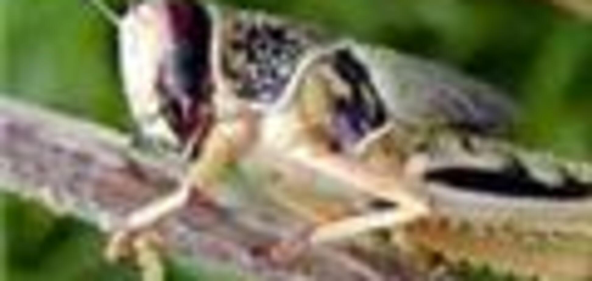 Дагестан атакували полчища сарани