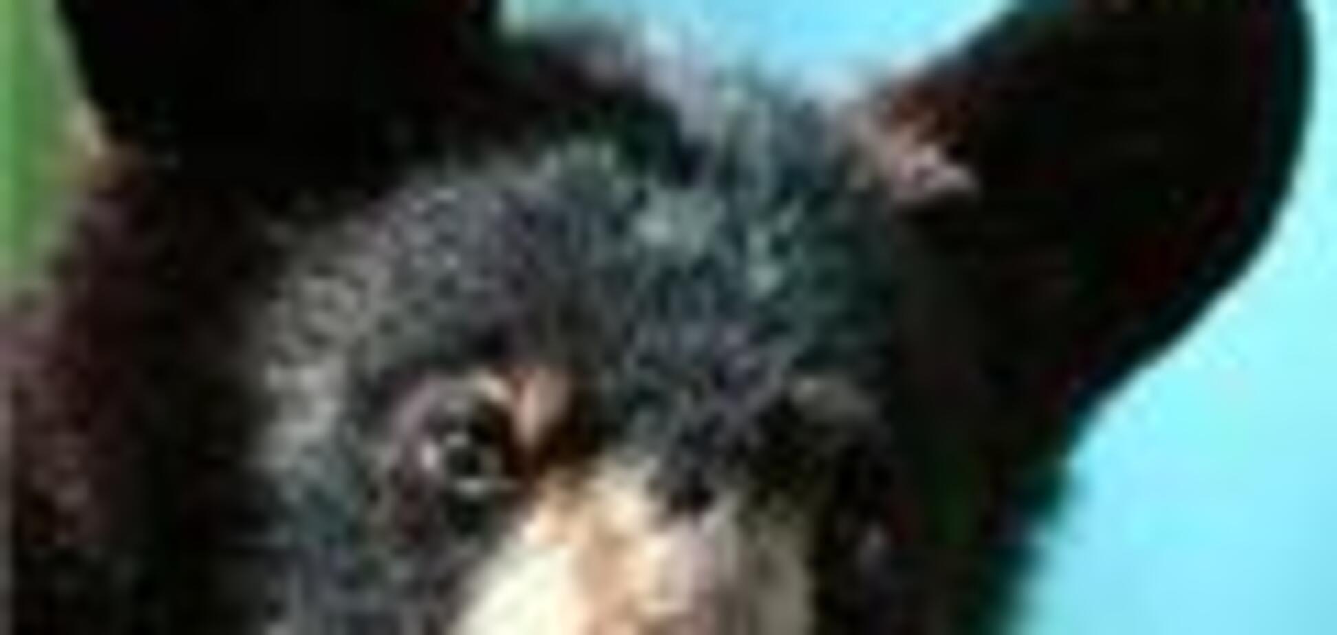 Американський шериф бере в заступники ведмедя