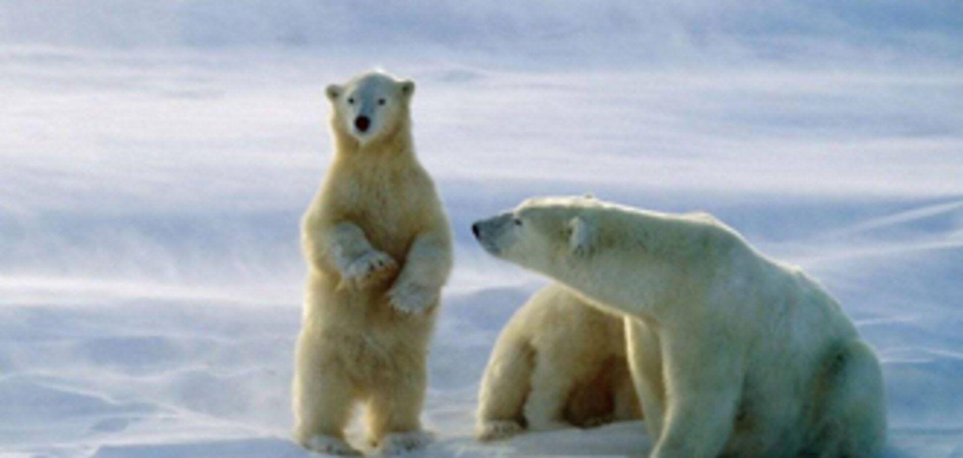 Канадець добу провів на крижині з двома білими ведмедями