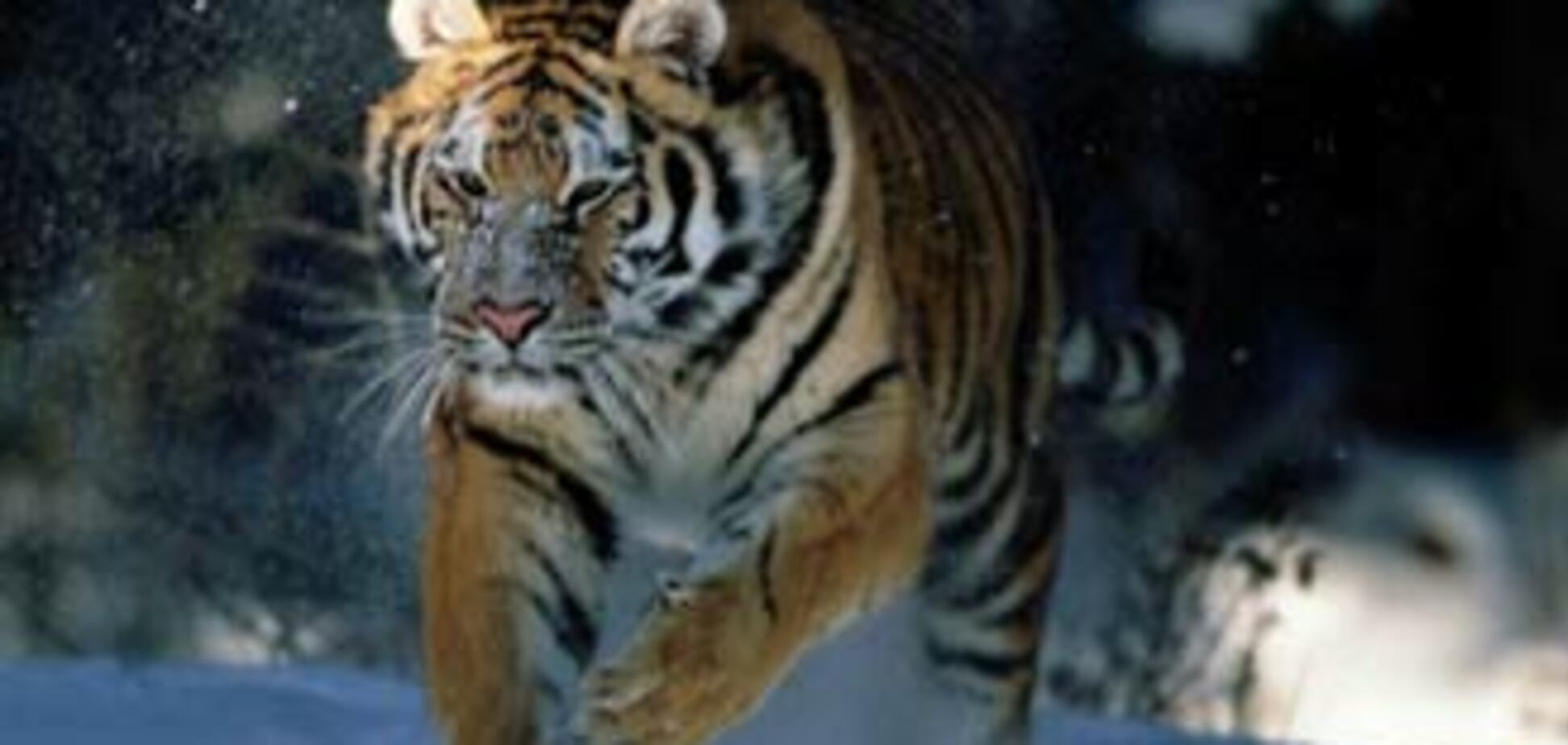 Гороскоп-2010. Приготовься встречать Тигра