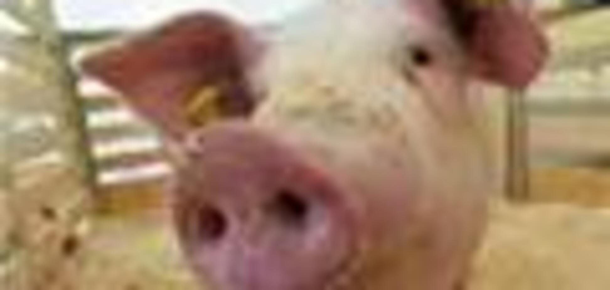 У Росії заарештовано двадцять свиней