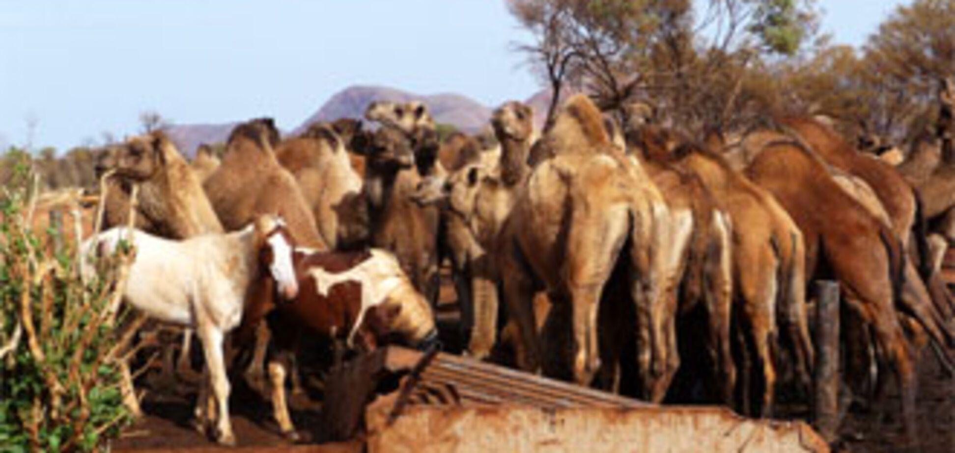 Австралія воює з верблюдами-загарбниками (ФОТО)