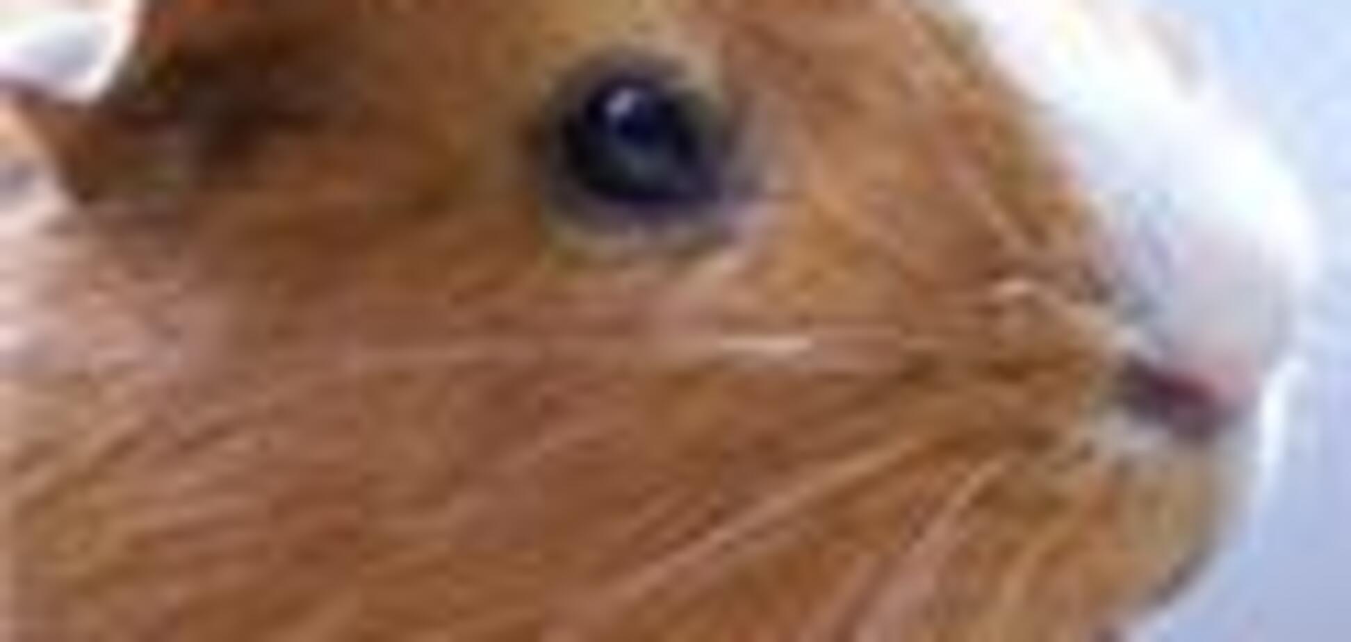 Ростовська дівчинка отримала від Медведєва морську свинку