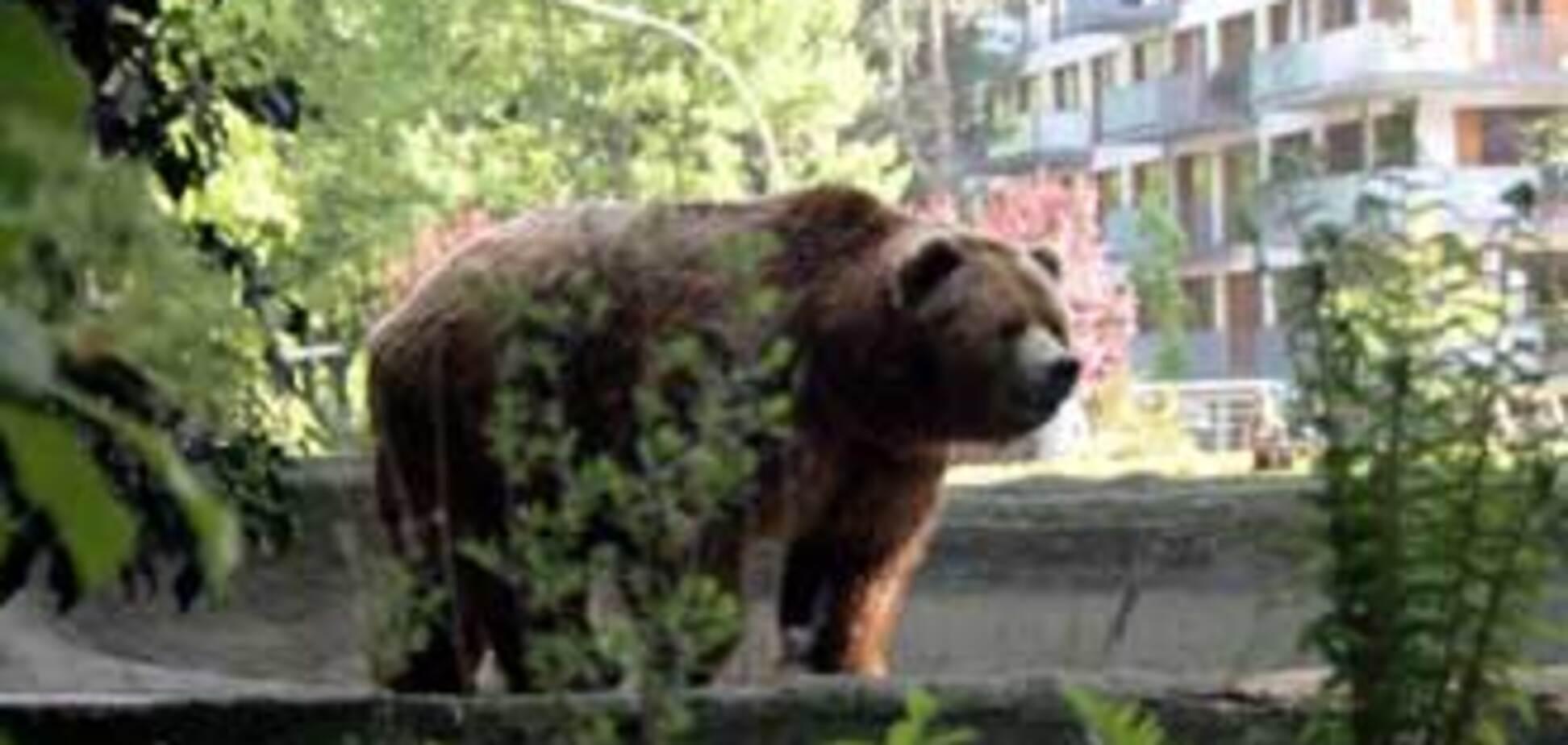 Ролик з ведмедем поставив на вуха весь Сінгапур. ВІДЕО