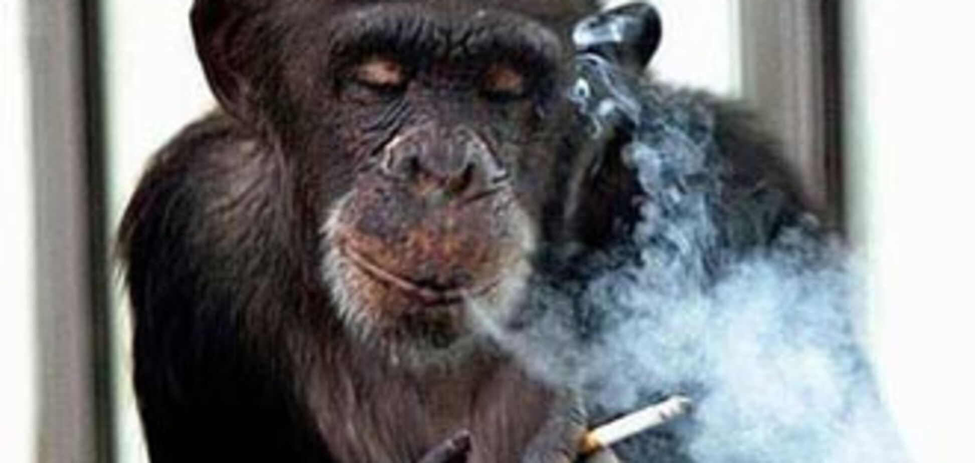 В Африці помер палить шимпанзе