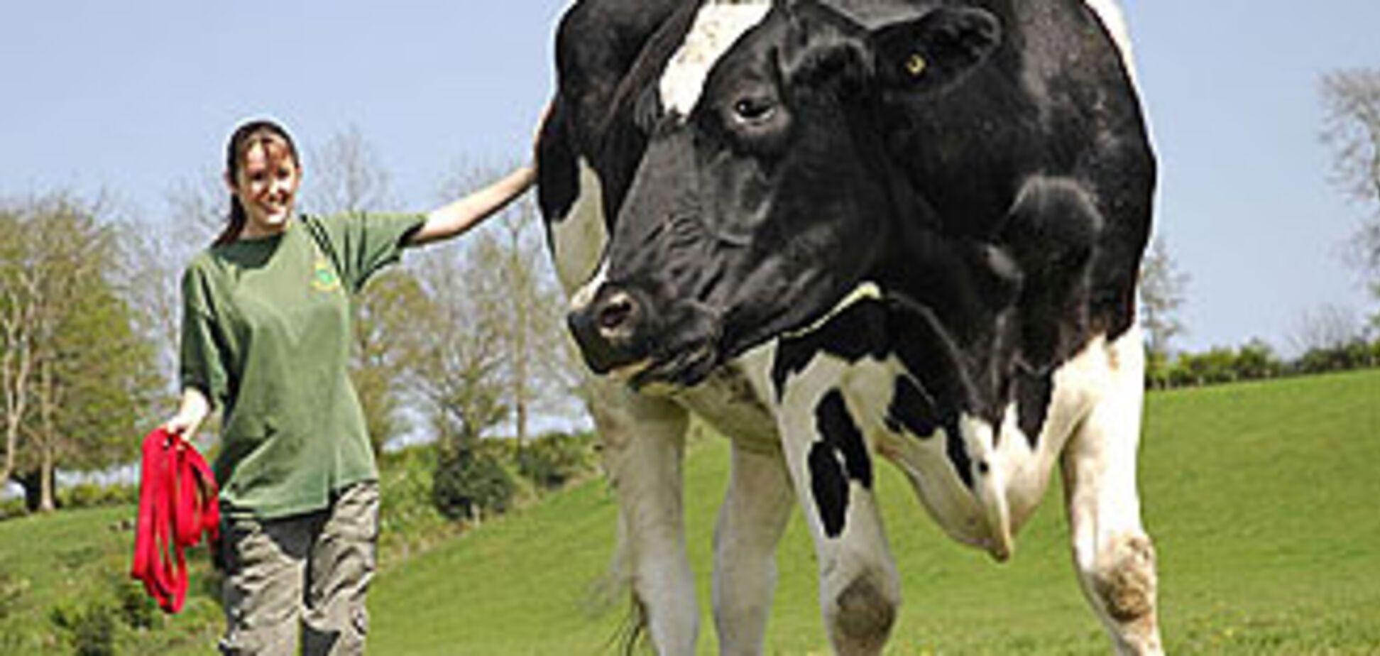 У Великобританії корова затоптала фермера