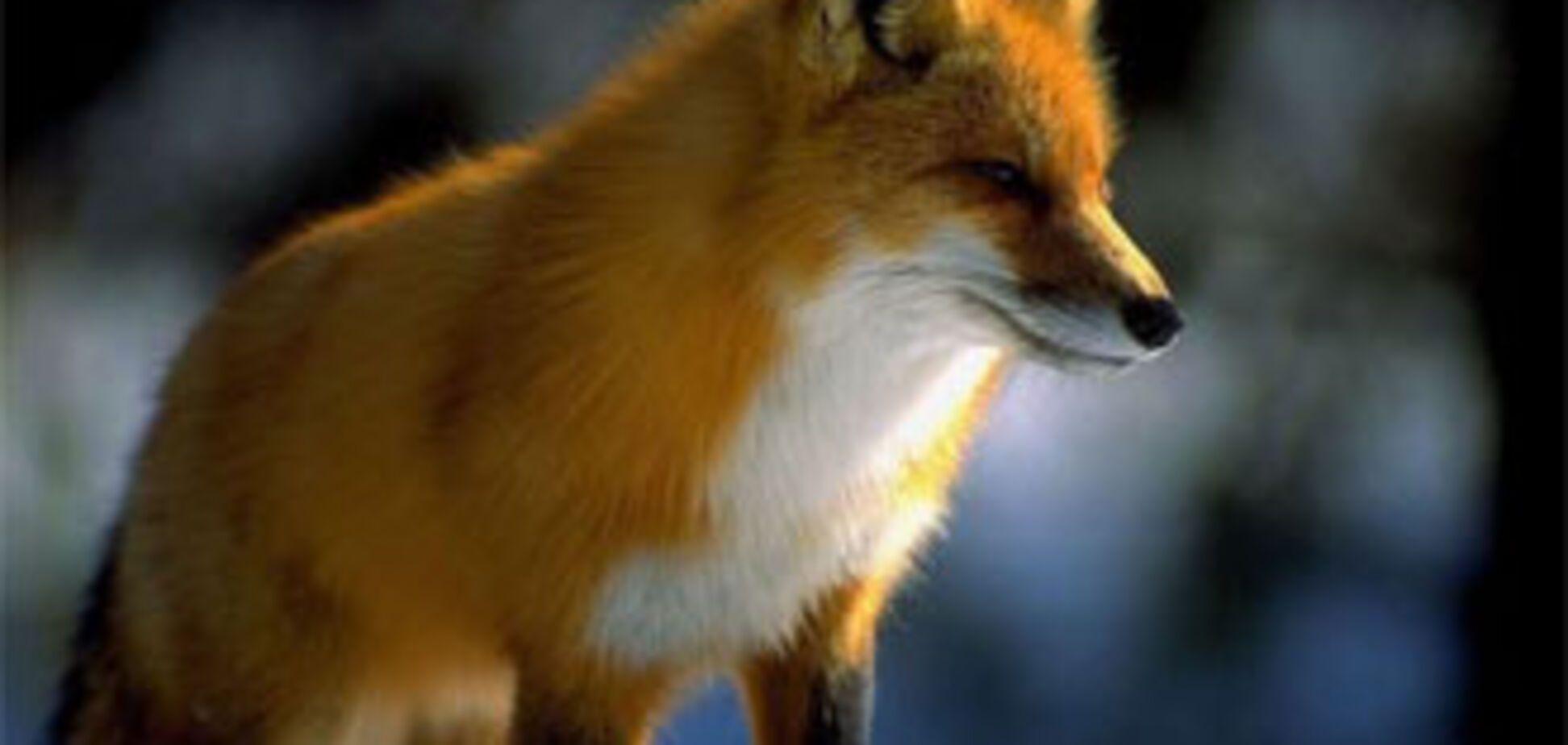 У Німеччині об'явилася лисиця-клептоманка, ворущая взуття