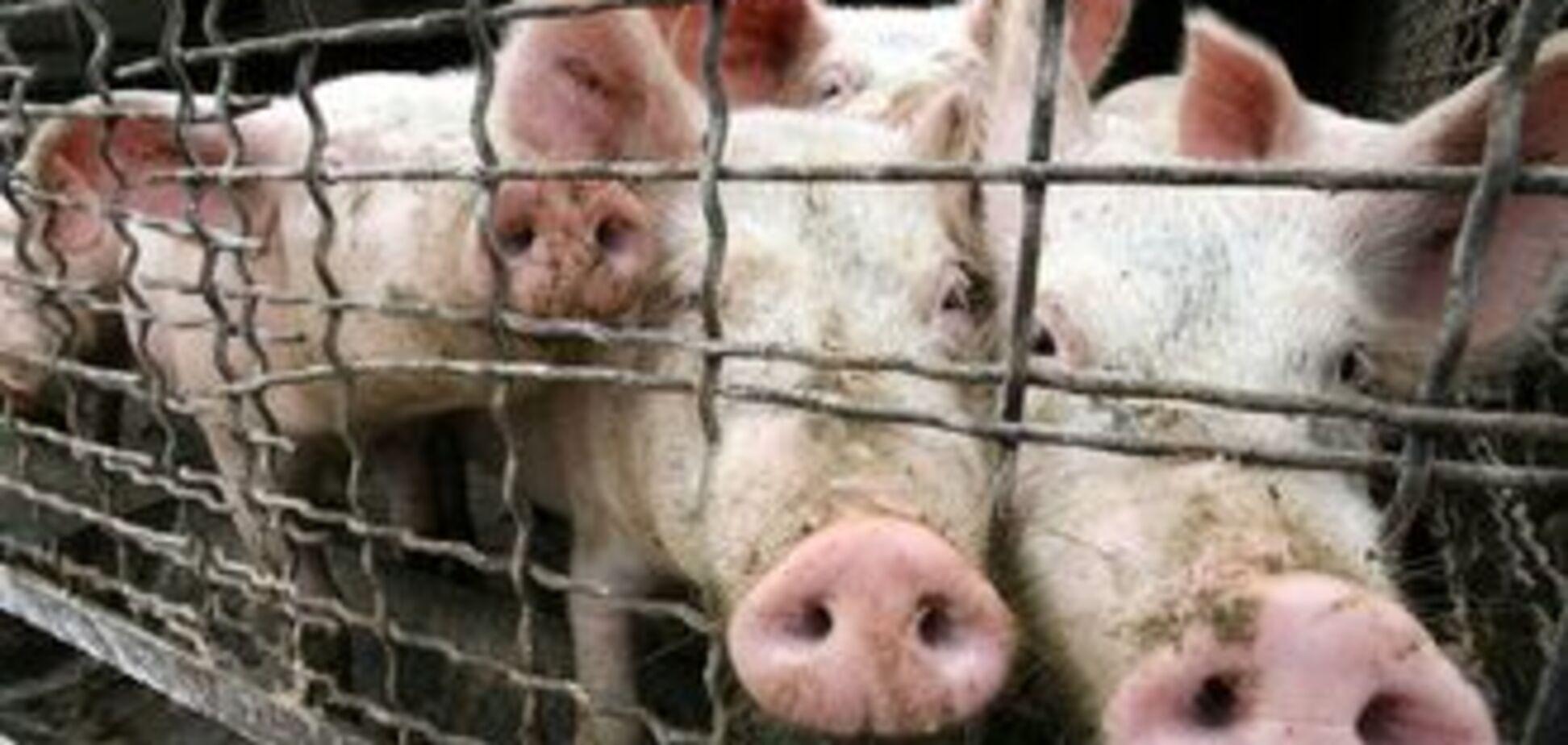 Бандою злодіїв свиноматок командувала жінка