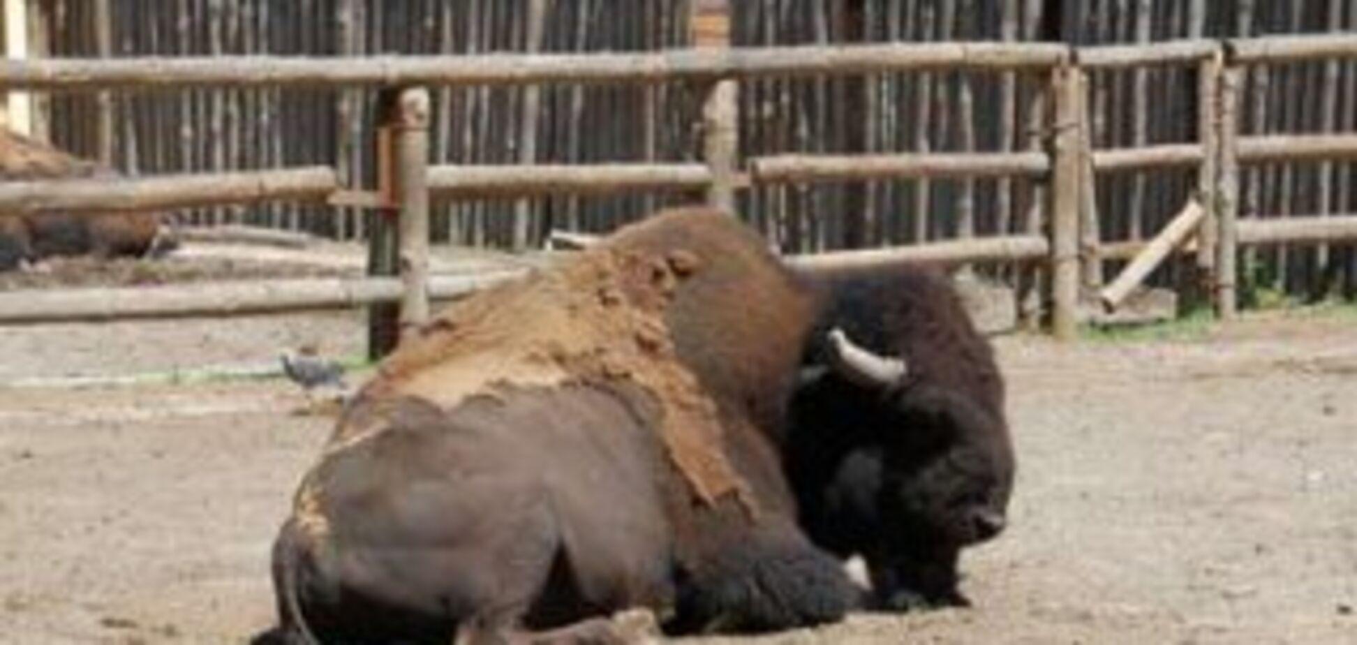 У Київському зоопарку помер бізон