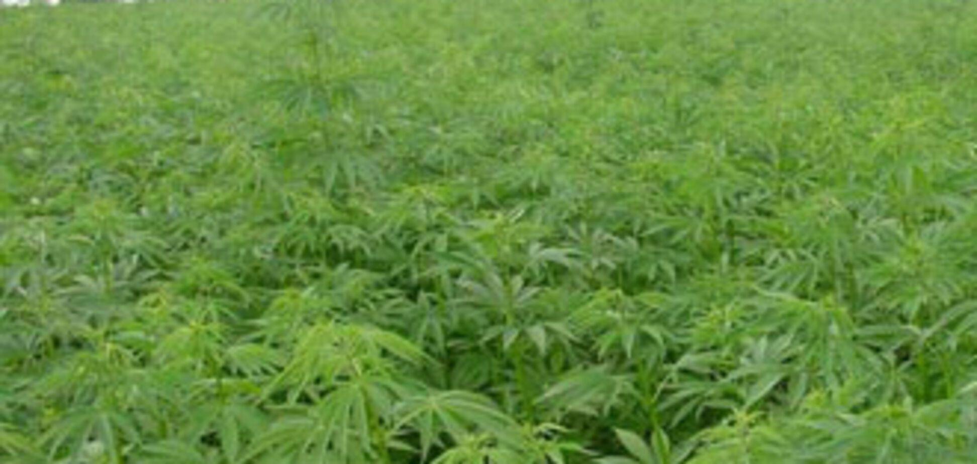 Кабмин увеличил посевы конопли в Украине на 809%