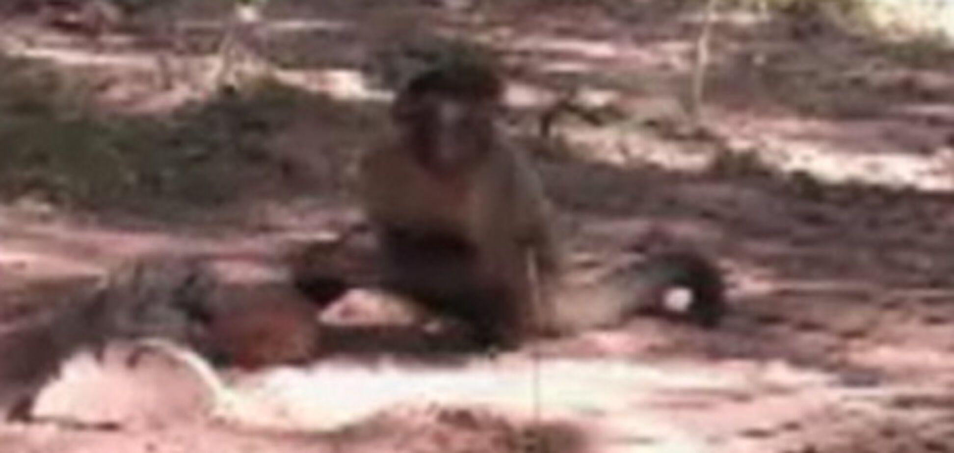Як мавпи розколюють горіхи. ВІДЕО