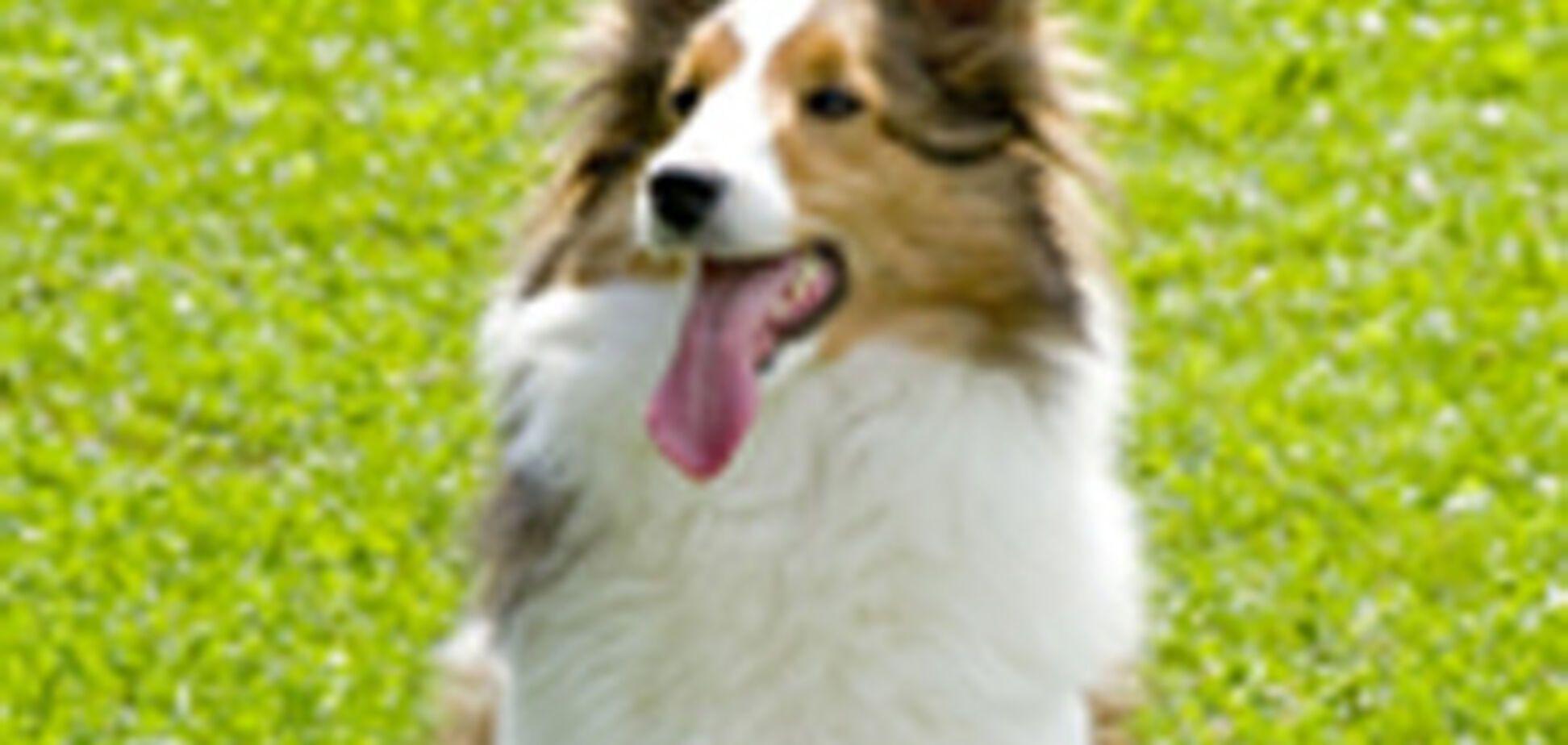Названа найрозумніша порода собак