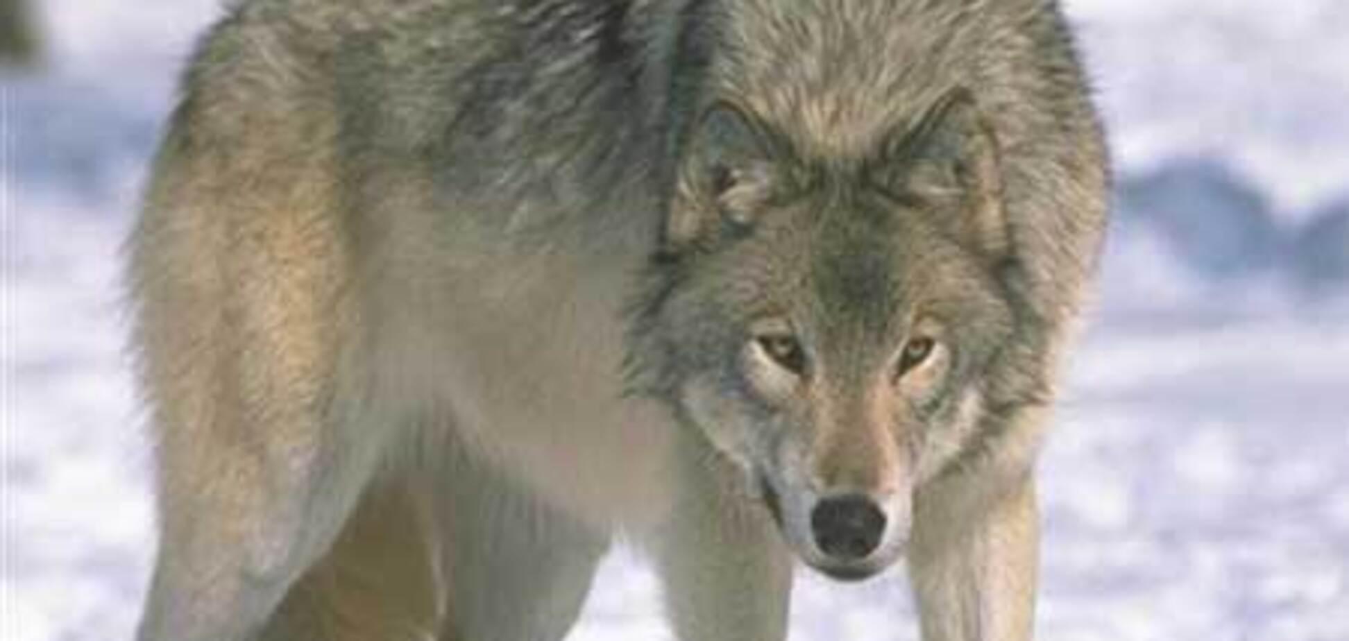 Норвежский школьник разогнал волков музыкой из мобильника