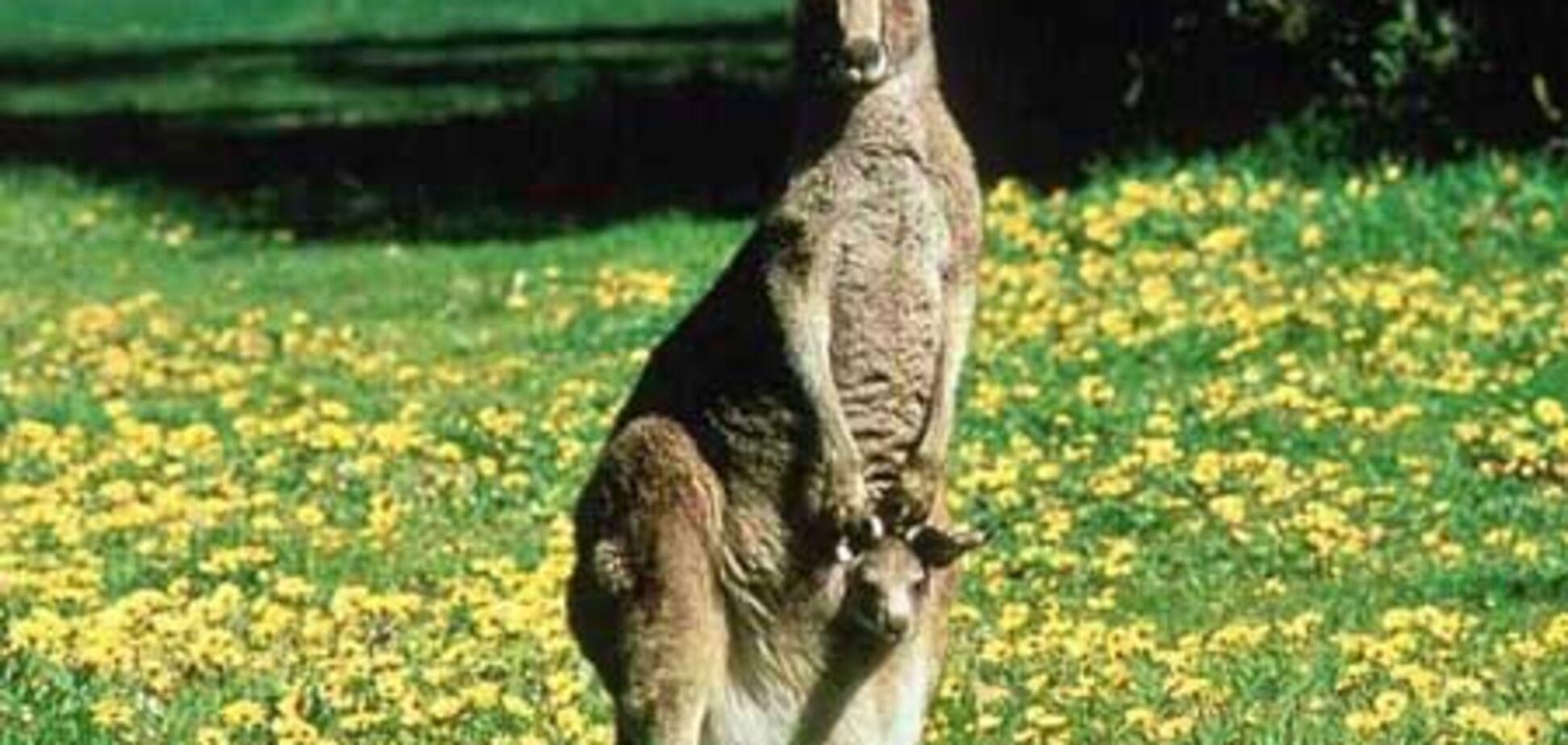 На першу ракетку світу напав кенгуру