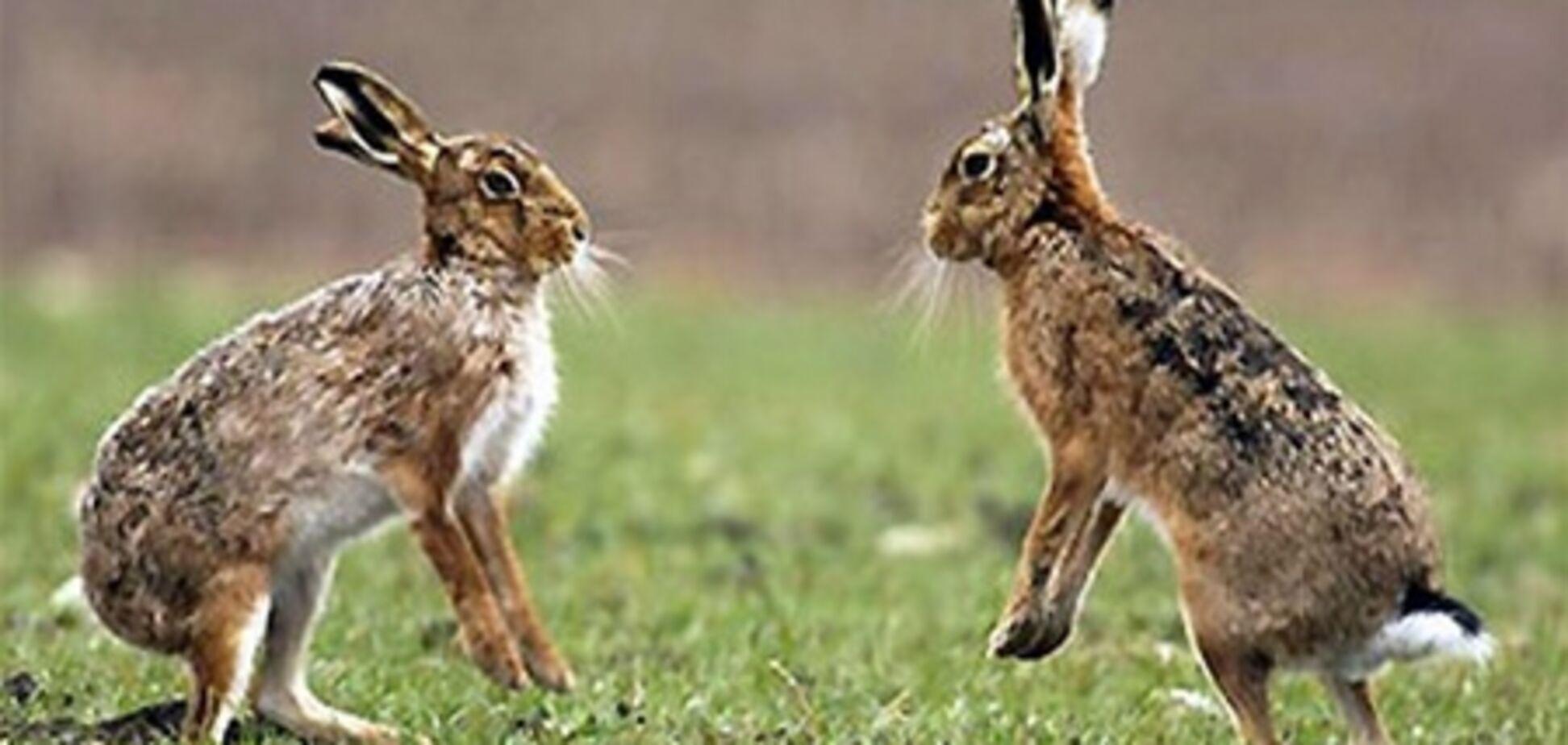 На Буковине от неизвестной болезни массово гибнут зайцы