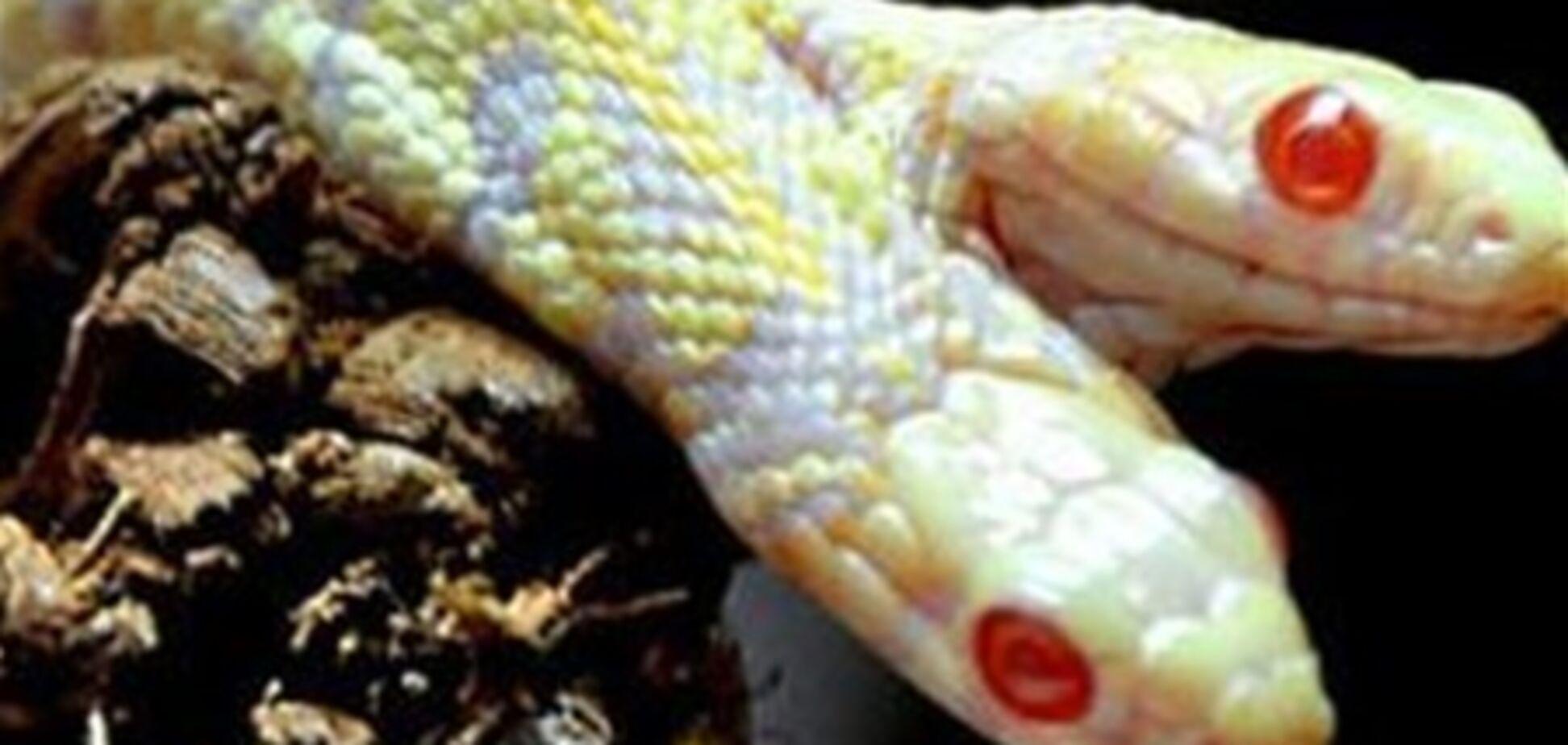 Двухголовые змеи существуют не только в сказках